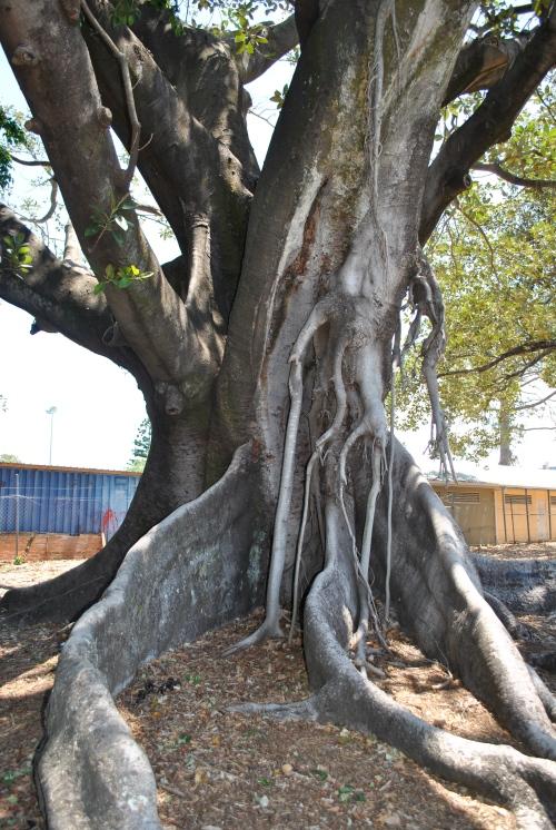 Old tree at Davies Park