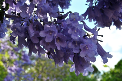 close up of a jacaranda tree. they're basically just ginormous purple flowers when they bloom so clearly I love them